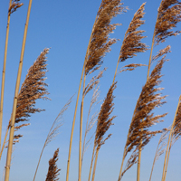 Phragmites Group